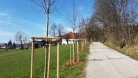<p>  Obnovljen drevored med Gostilno Čad in vilo Marije Vere; <br>  Foto: Andrej Verlič </p>