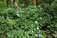 <p>  Hortenzija (v gozdu ob Glinščici); Foto: Luka Šparl (Arhiv TRŠh) </p>