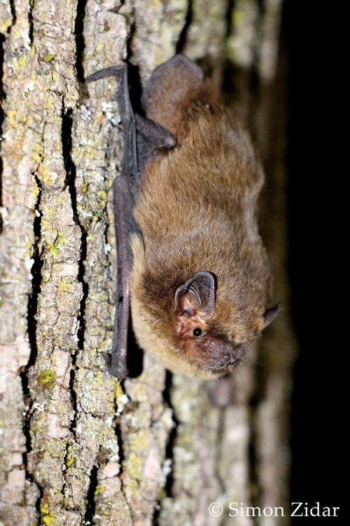 <p>  Drobni netopir (Foto: Simon Zidar) </p>