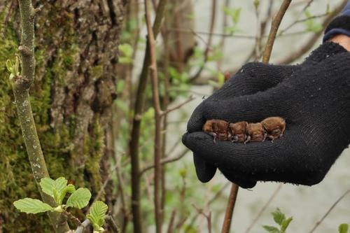 <p>  Štiri samičke vrste drobni netopir (<em>Pipistrellus pygmaeus</em>); </p> <p>  Foto: Luka Šparl (Arhiv KP TRŠh) </p>