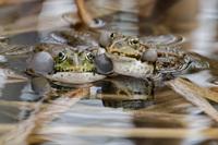 <p>  Zelena žaba; Foto: Dušan Šipek </p>