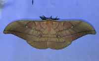 <p>  Japonska sviloprejka (<em>Antheraea yamamai</em>); foto: Luka Šparl (arhiv KP TRŠh)<br> </p>