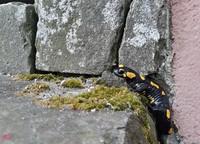 <p>  Navadni močerad (Salamandra salamandra); foto: Luka Šparl (arhiv KP TRŠh) </p>
