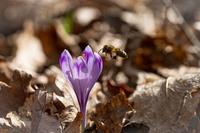 <p>  Medonosna čebela (<em>Apis mellifera</em>) ob cvetu spomladanskega žafrana; foto: Luka Šparl (arhiv KP TRŠh)<br> </p>