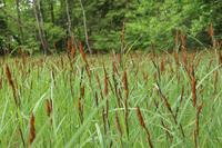 <p> Ostroluski šaš (<em>Carex acutiformis</em>); foto: Luka Šparl (arhiv KP TRŠh)<br> </p>