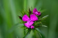 <p> Brkati klinček (Dianthus barbatus); foto: Luka Šparl (arhiv KP TRŠh)<br> </p>
