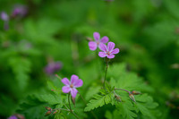 <p> Smrdljička (<em>Geranium robertianum</em>); foto: Luka Šparl (arhiv KP TRŠh) </p>
