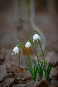 <p> Pomladanski veliki zvonček (<em>Leucojum vernum</em>); foto: Luka Šparl (arhiv KP TRŠh)<br> </p>