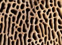<p>  Trosovnica hrastove labirintnice (<em>Daedalea quercina</em>); foto: Luka Šparl (arhiv KP TRŠh)<br> </p>