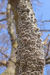 <p>  Navadna cepilistka (<em>Schizophyllum commune</em>); foto: Luka Šparl (arhiv KP TRŠh)<br> </p>